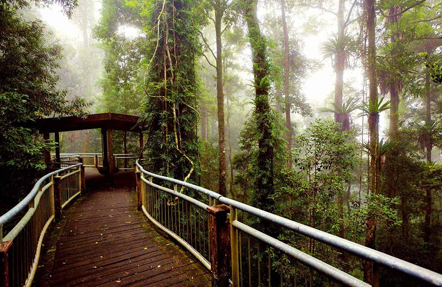 Rainforest in Dorrigo, the canopy walk