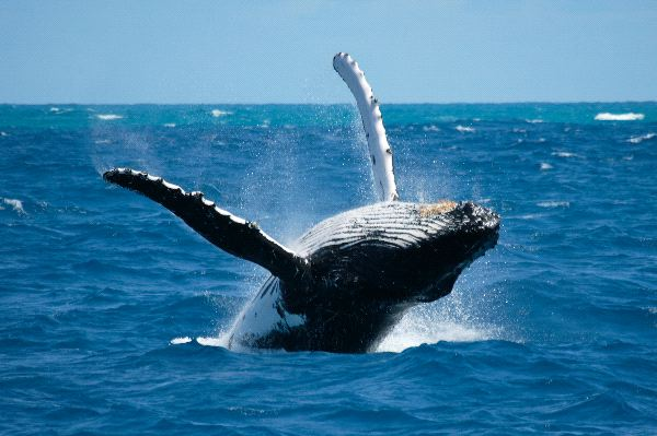 Humpback whale frolicking in the ocean at Coffs Harbour