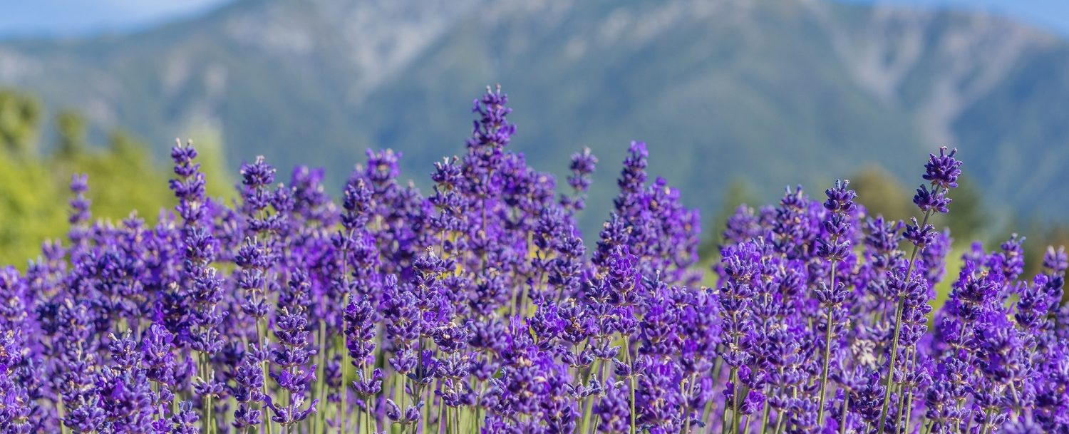 emotional recovery lavender